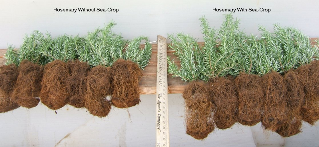 French Tarragon starts were transplanted into one gallon pots and treated